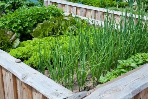 Зелень в огороде