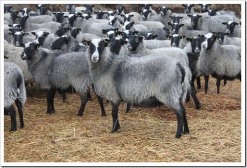 Сколько пространства необходимо овцам