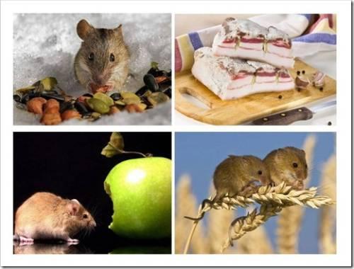 Идеальная приманка для мышей – какая она?