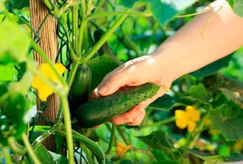 Какие сорта огурцов самые урожайные для теплицы