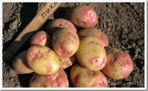 Почему от импортного картофеля стоит отказаться?