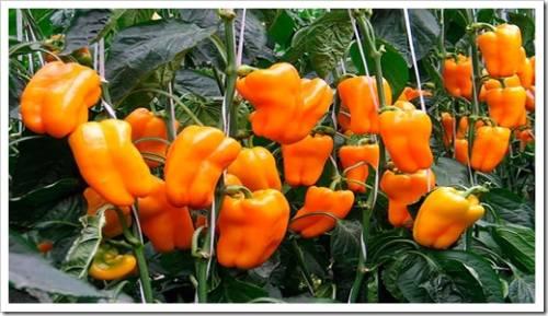 Основные правила выращивания перцев
